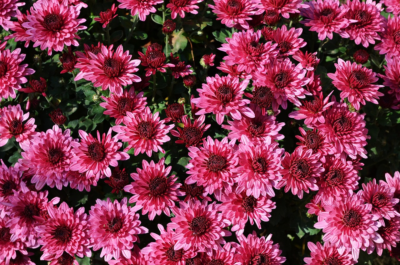 хризантемы фото 15