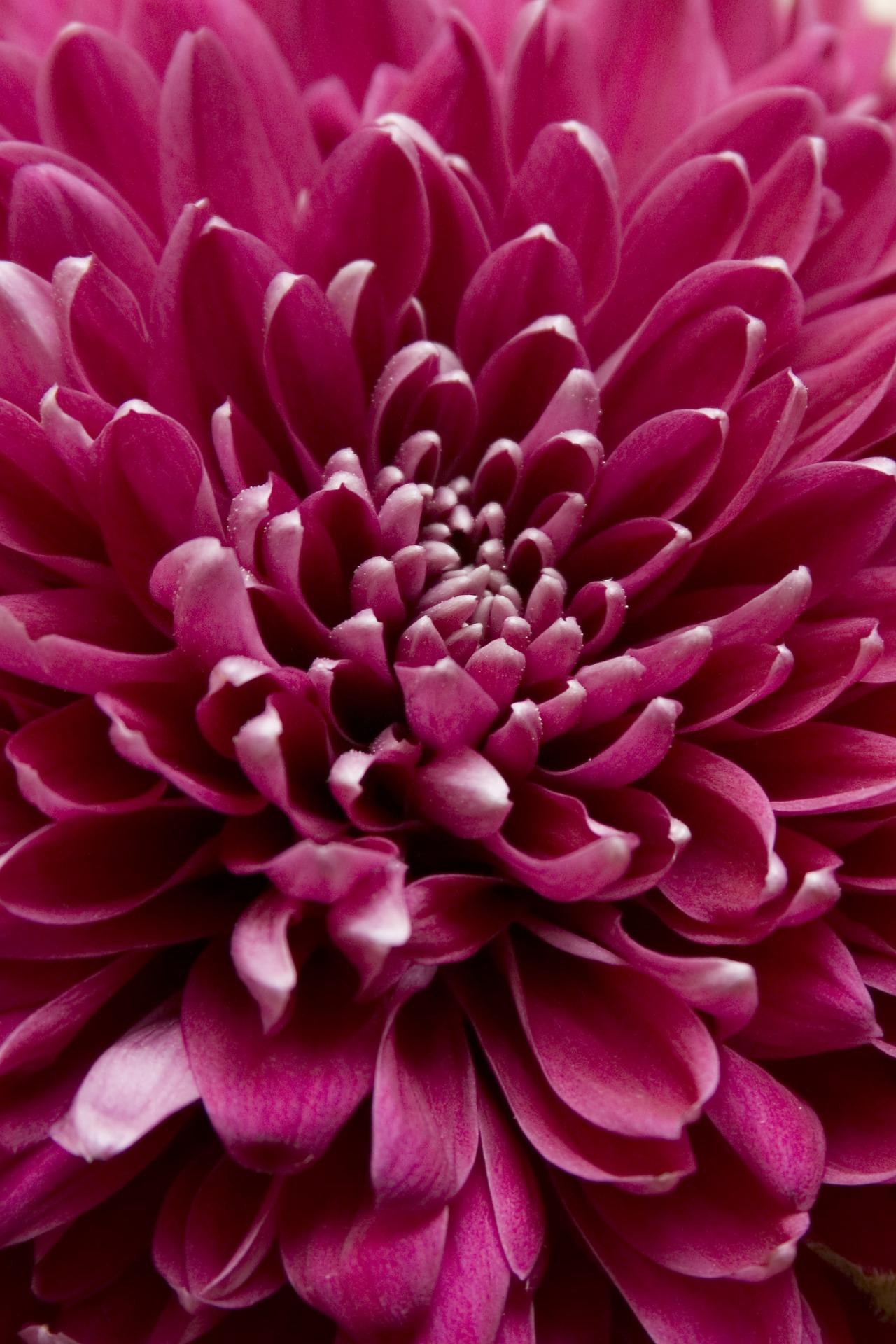 хризантемы фото 17