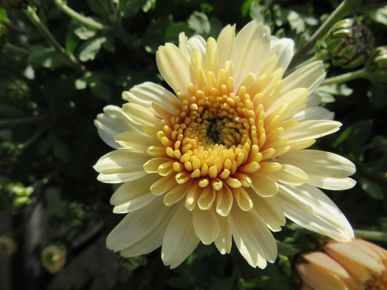 хризантемы фото 18
