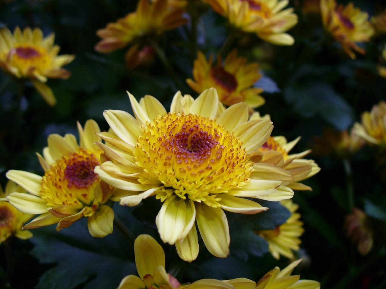 хризантемы фото 19