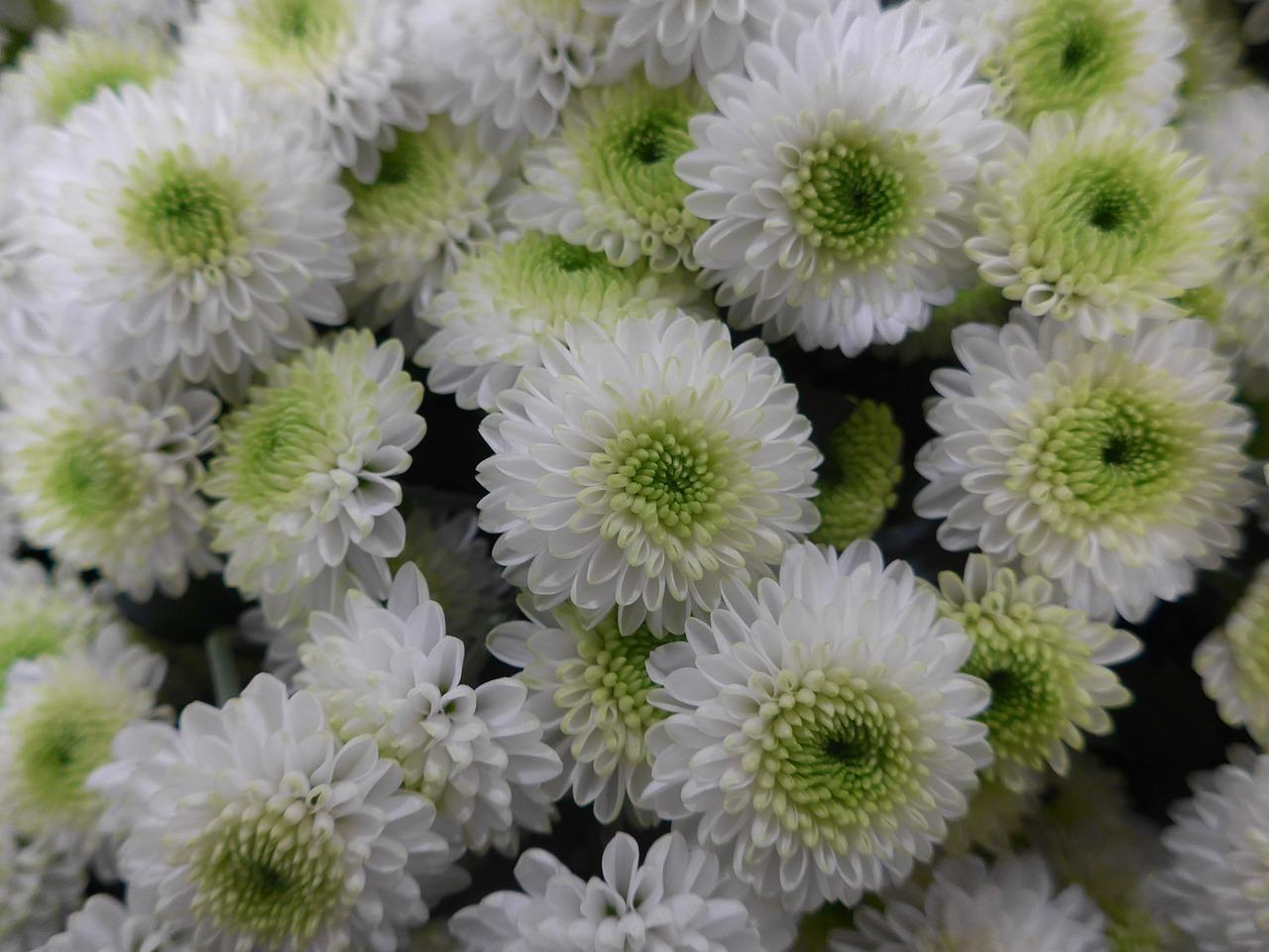 хризантемы фото 22
