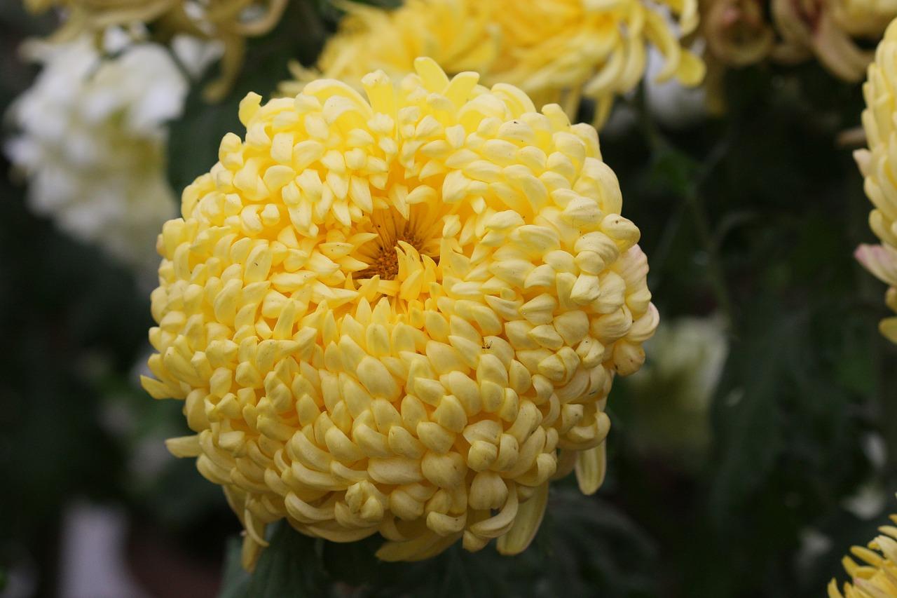 хризантемы фото 26