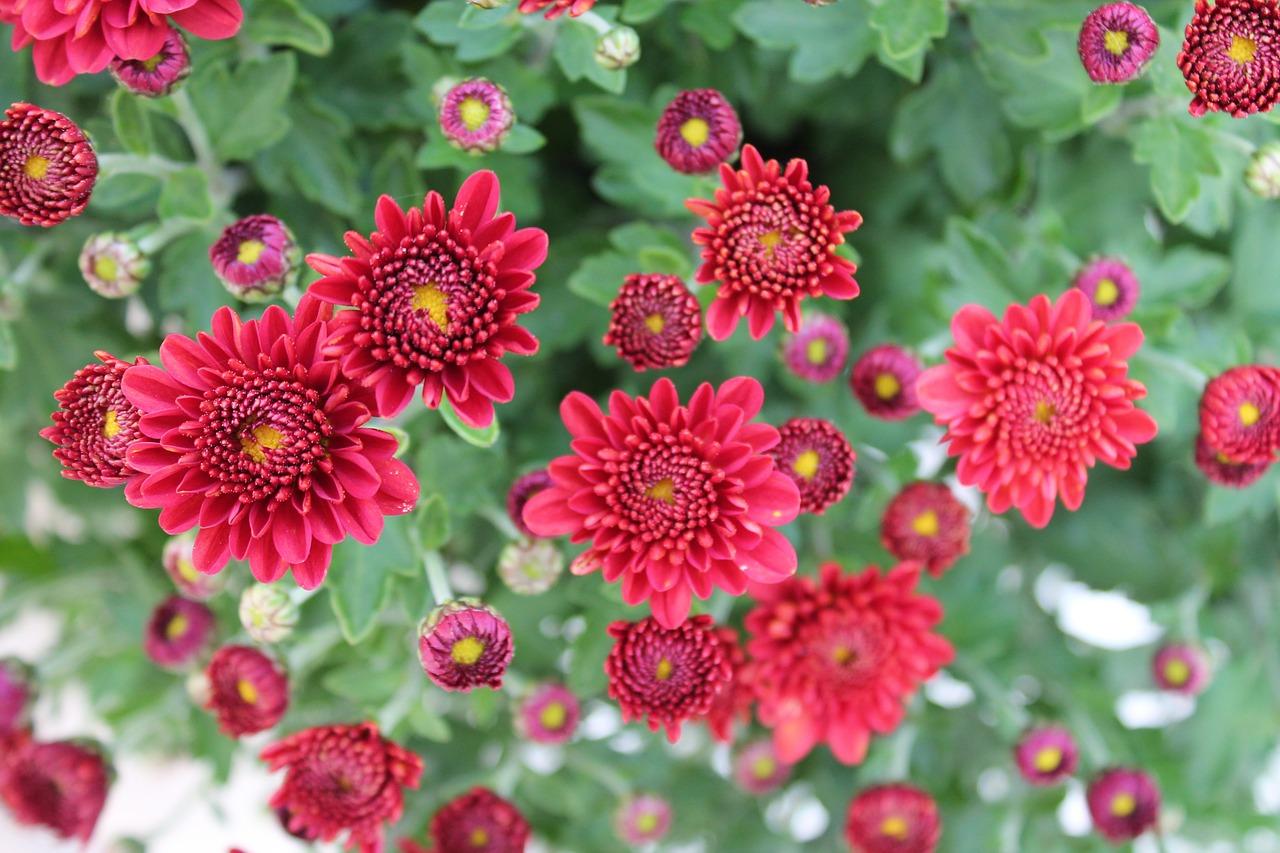 хризантемы фото 28