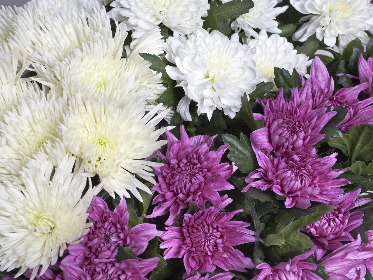 хризантемы фото 30