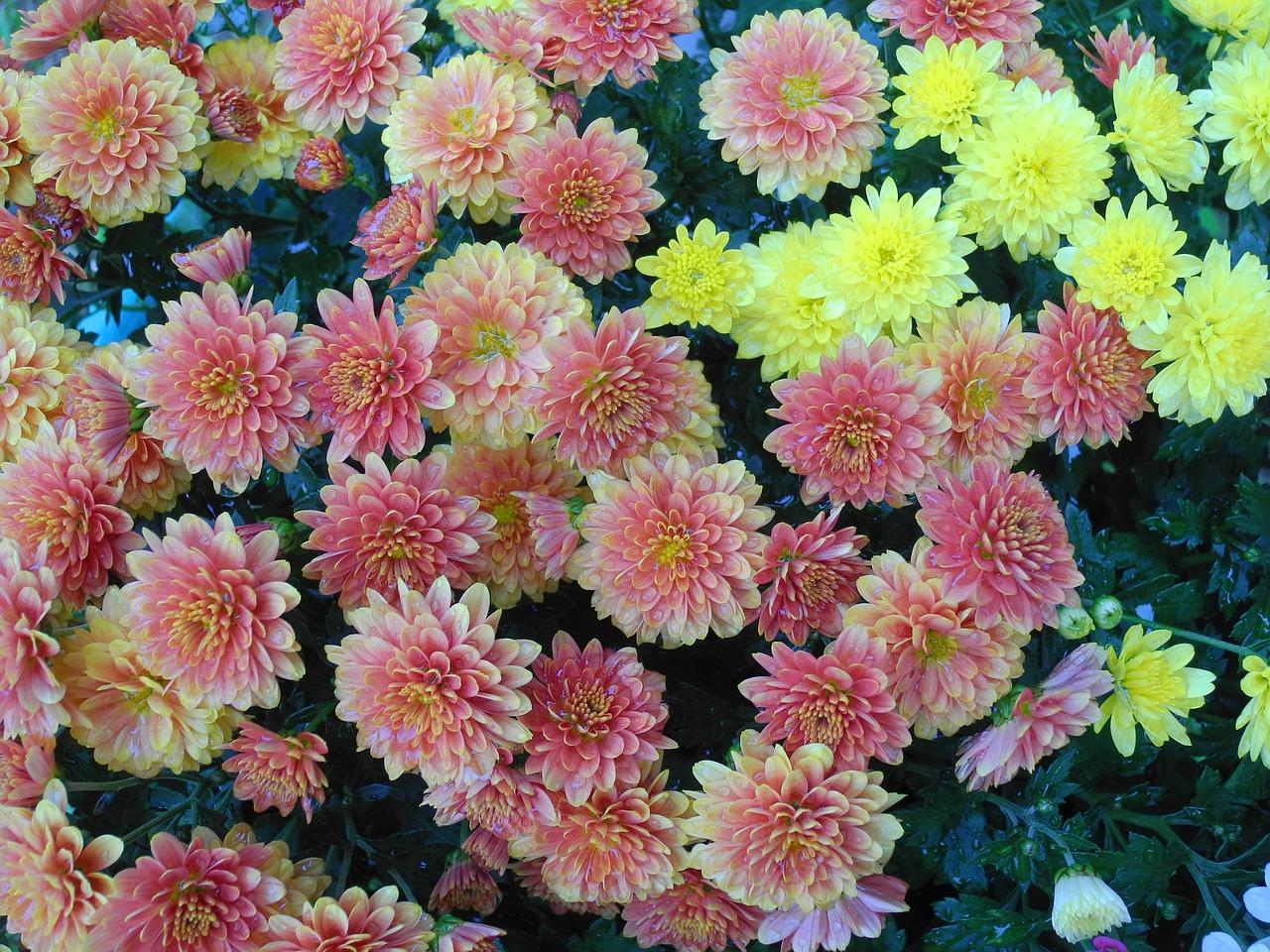хризантемы фото 31