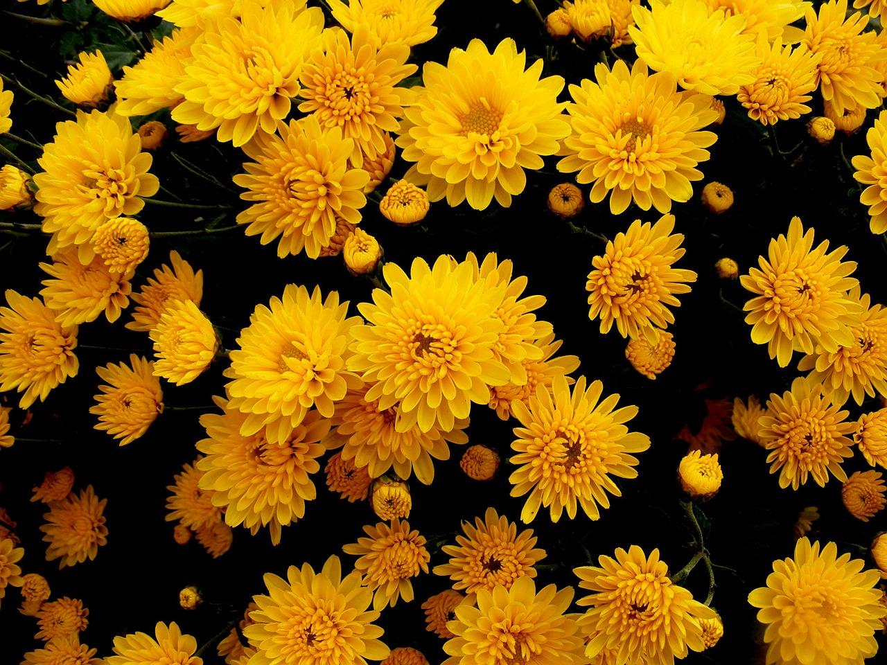 хризантемы фото 34