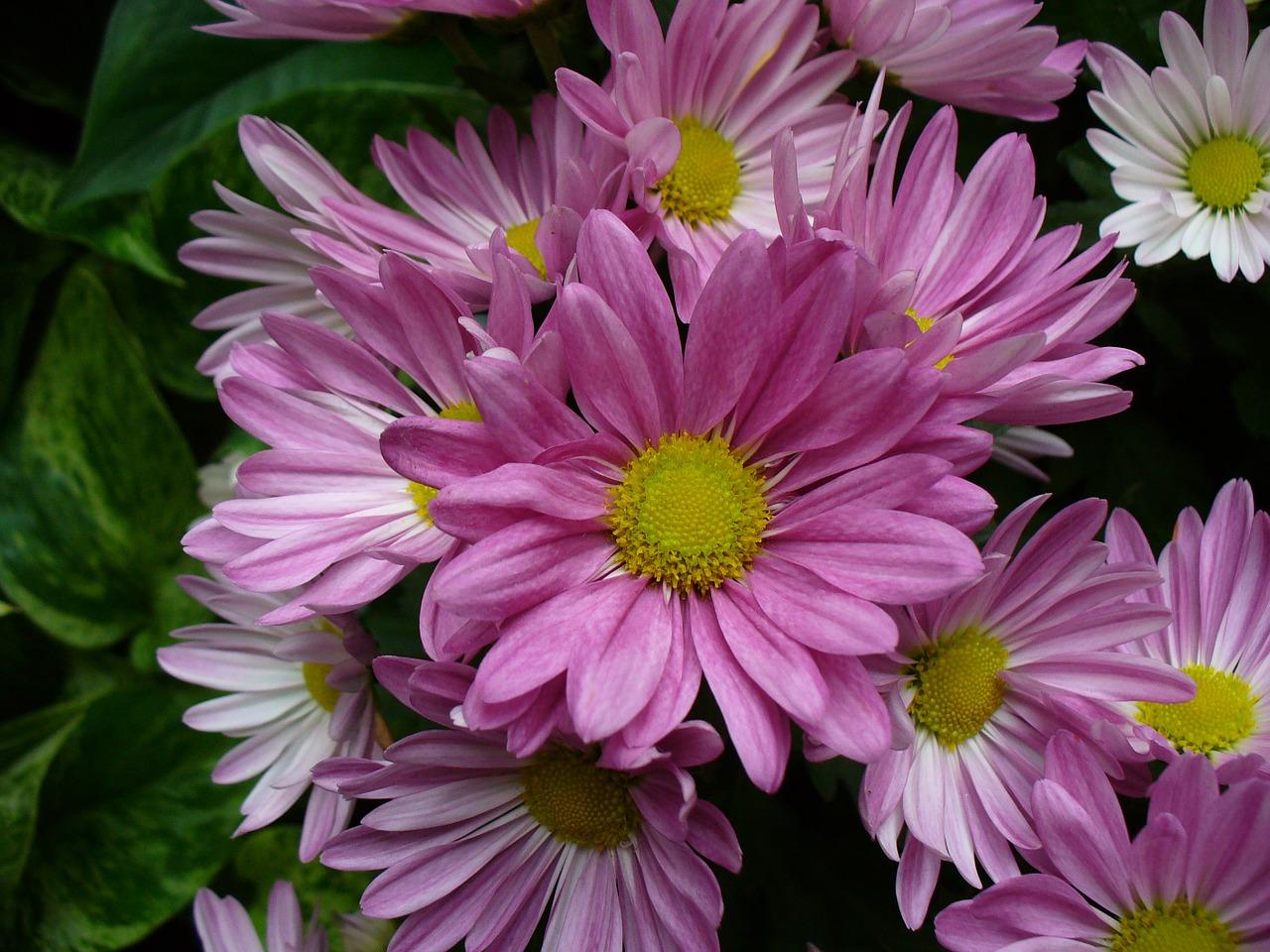 хризантемы фото 6