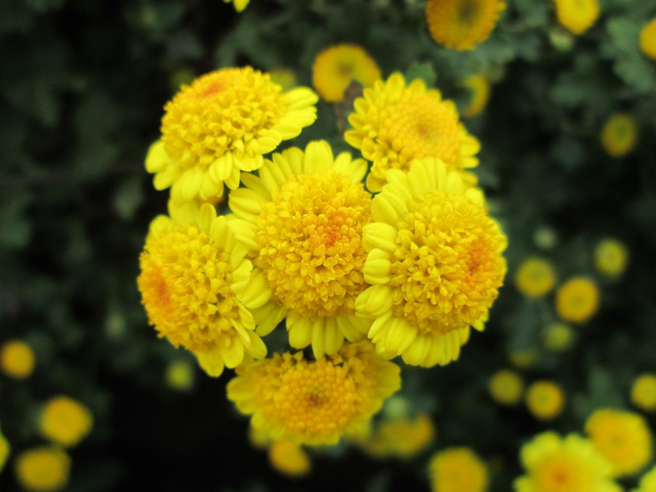 хризантемы фото 9