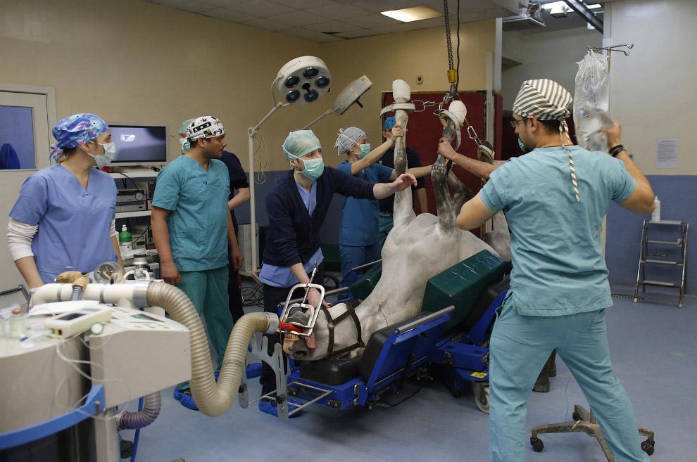 методы лечения лошадей операция лошади 2