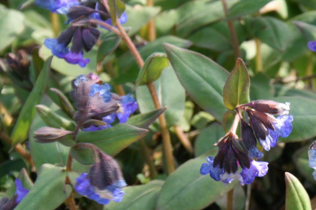 Медуница узколистная. (Pulmonaria angustifolia) фото