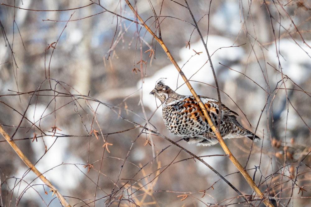 Как выглядит птица рябчик - фото