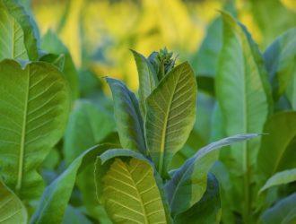 В какие сроки начинать сбор листьев табака сорта Молдавский