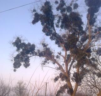 Омела - дерево, пораженной омелой