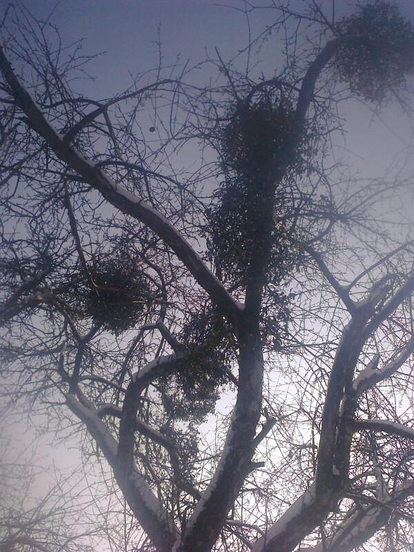 Омела на старой яблоне