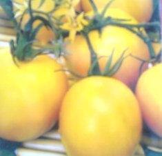Сеньоры - помидоры