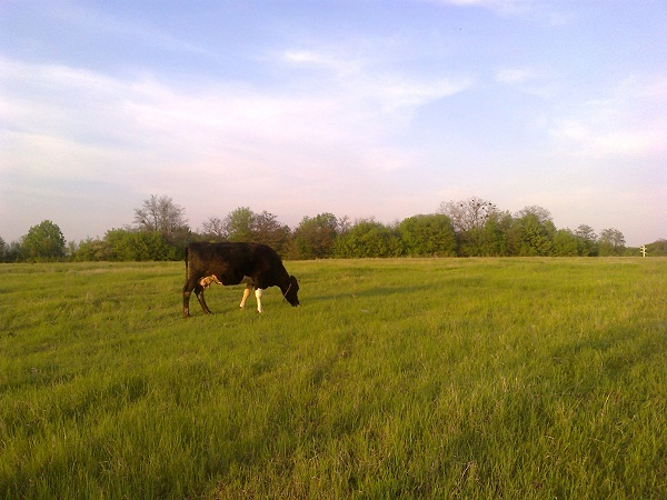 Коровы на пастбище-впервые пасти коров весной
