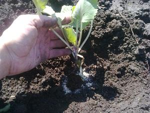 Посадка ранней капусты