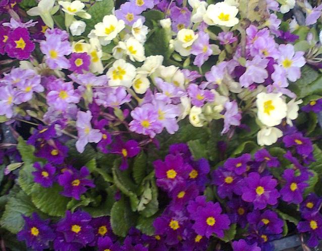 Примула цветы фото