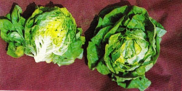 салат кочанный-выращивание зелени в домашних условиях