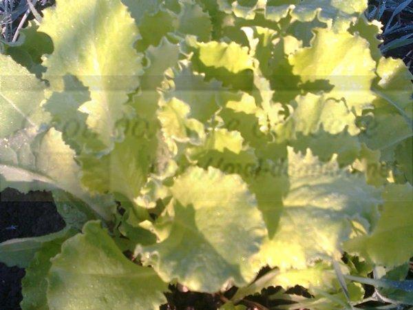 салат листовой выращивание