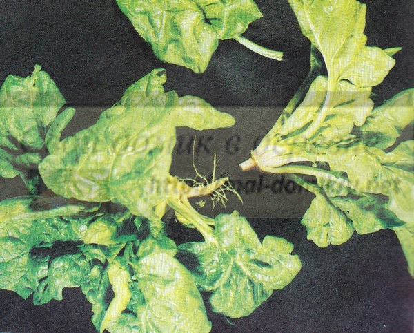 шпинат-выращивание зелени в домашних условиях