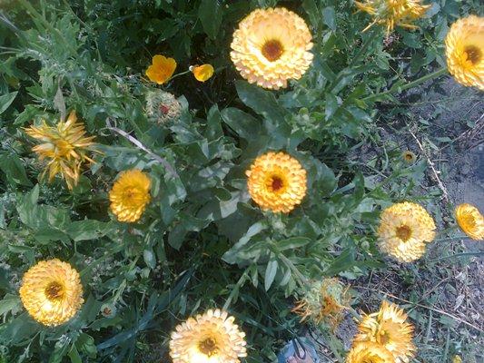 календула, цветы календулы