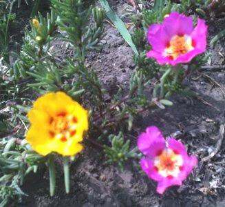 портулак цветок