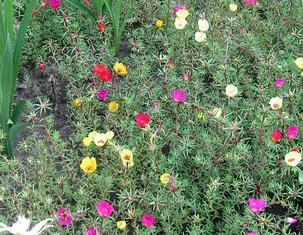 цветок портулак