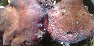 Печеночный гриб на дубе.100г мякоти — дневная норма витамина С!