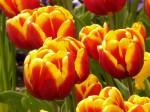 Правильная посадка луковиц тюльпанов осенью — 5 факторов успеха
