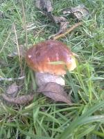 белый гриб фото, гриб боровик фото