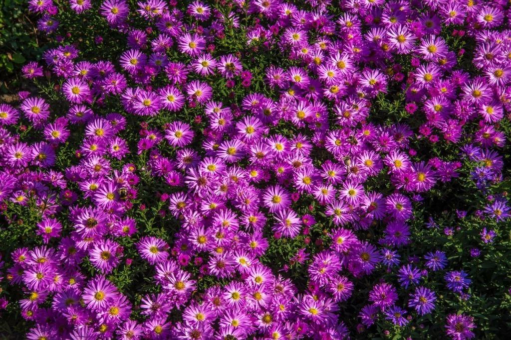 Цветы сентябринки и октябринки фото