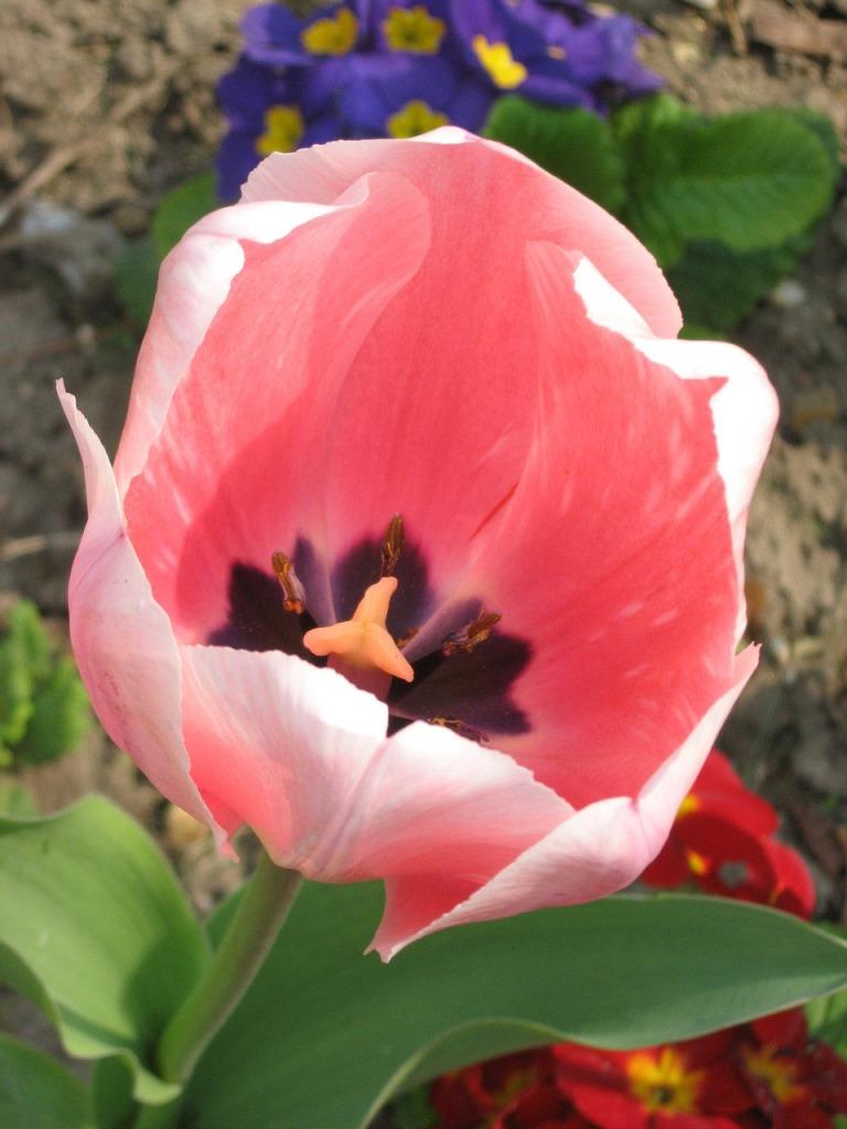 тюльпан  цветок фото