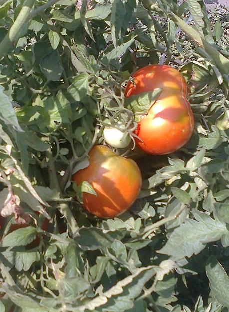Распространенные заболевания томатов