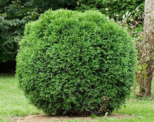 Туя, вечнозеленый декор для вашего сада