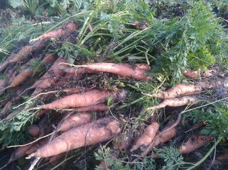 морковь, хранение моркови