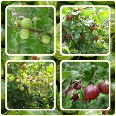 Полезная ягода-крыжовник