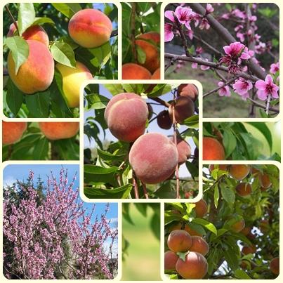 Посадите персик в своем саду