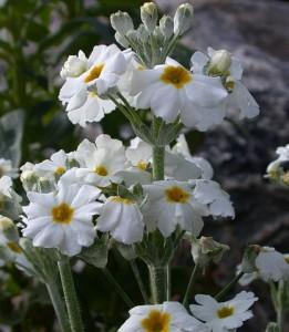 примула каскадная (Primula malacoides)