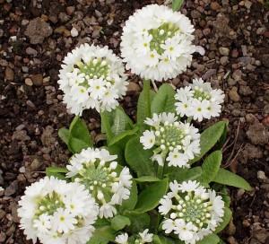 Примула мелкозубчатая Primula denticulata