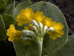 примула ушковидная (Primula auricula)
