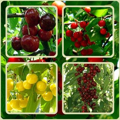 Черешня в саду-всегда желанный гость