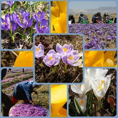 Крокусы: удивительные цветы рядом!