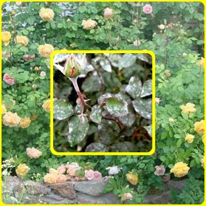 Мучнистая роса-чем болеют розы