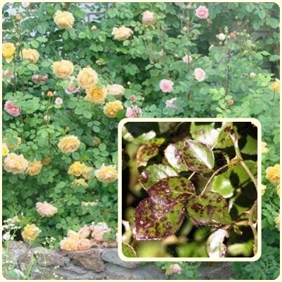 Черная пятнистость — чем болеют розы