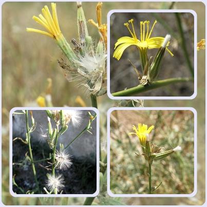 Хондрилла ситниковая — виды сорняков