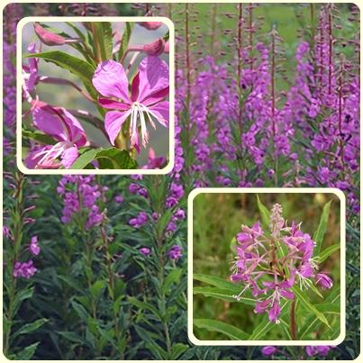 Садовые сорняки — иван-чай узколистный
