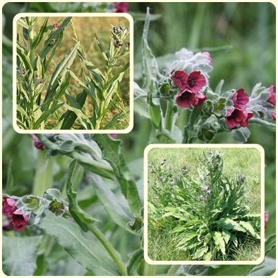 Чернокорень — сорняки в огороде
