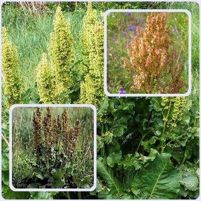 Щавель конский — сорняки на участке