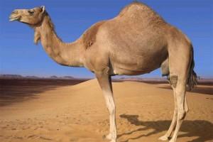 красивый верблюд фото